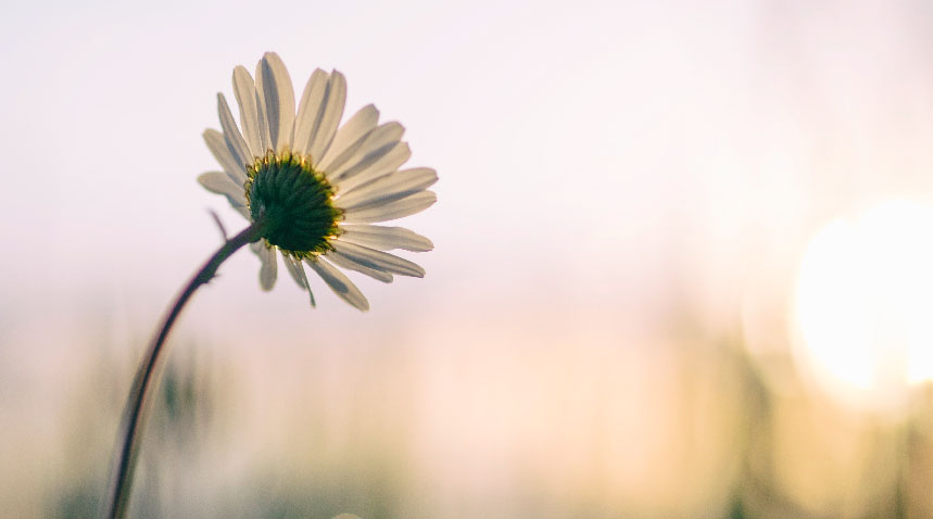 a single daisy in a field during sunrise